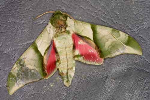 Callambulyx poecilus