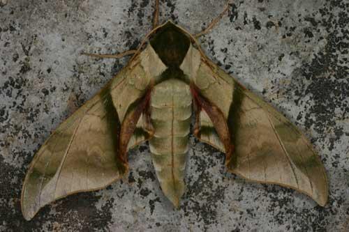 Callambulyx sp