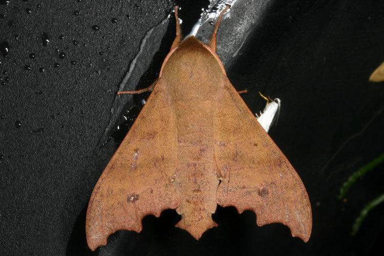 Cypa decolor 10