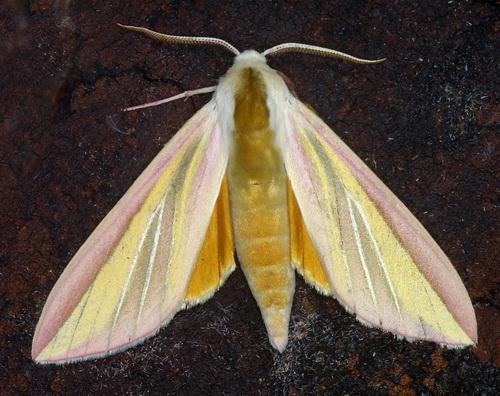 Leucophlebia lineata
