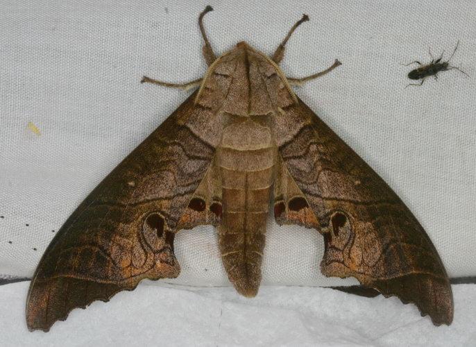 Marumba spectabilis 1