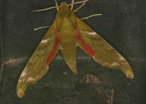 Rhodoprasina callantha