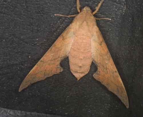 Smerinthulus quadripunctatus cottoni dsf female