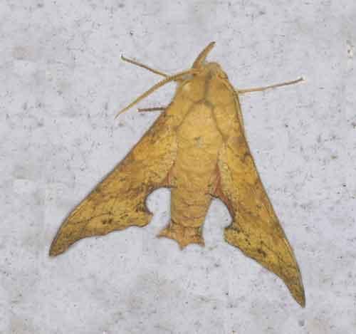 Smerinthulus quadripunctatus cottoni (light form)