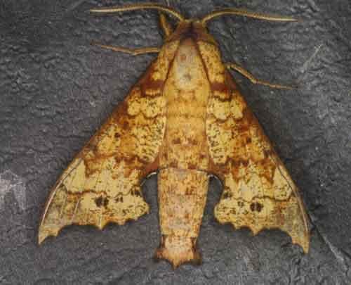 Smerinthulus quadripunctatus cottoni wsf
