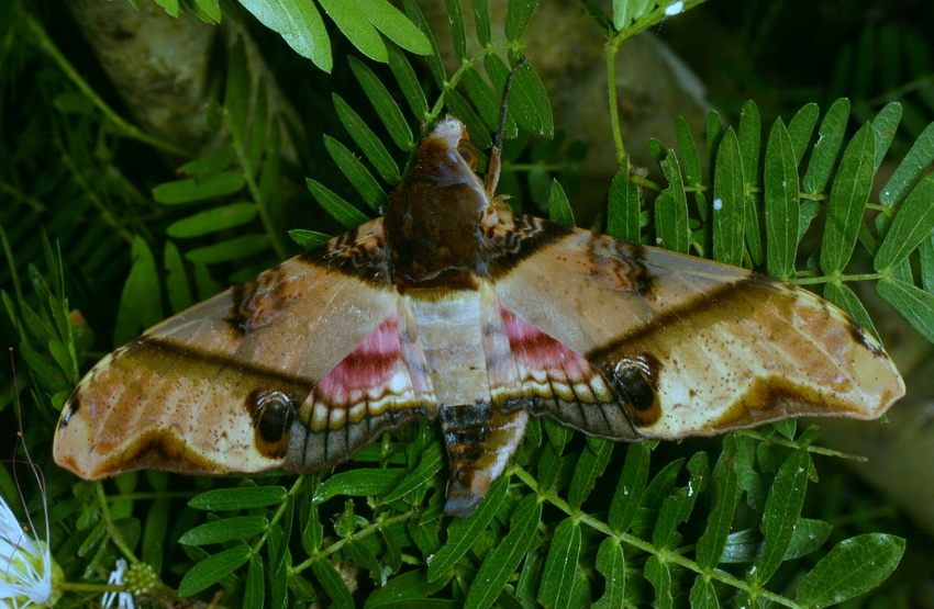 Amplypterus panopus