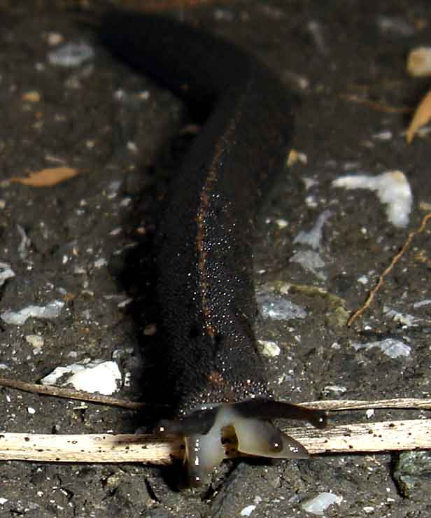 velvet worms are related to arthropods