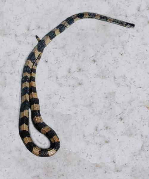 Banded krait Bungarus fasciatus (venomous and potentially fatal when alive)