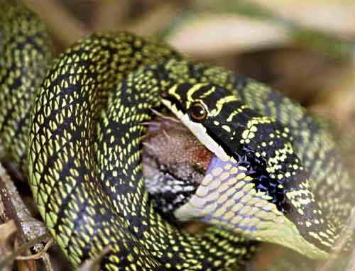 Golden Tree snake 2