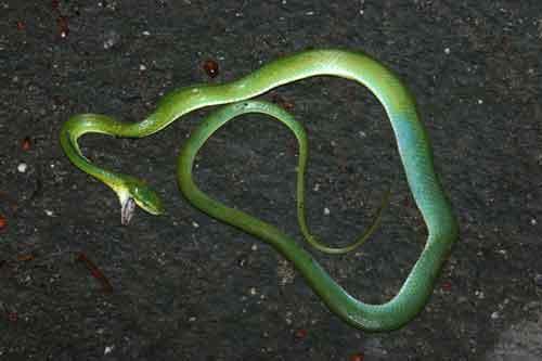 Green tree racer (Elaphe prasina)