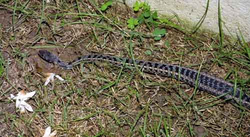 Keelback used to live in the garden