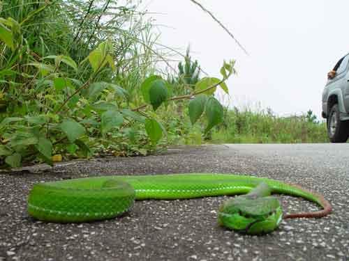 Pope\'s pit viper (venomous and dangerous)