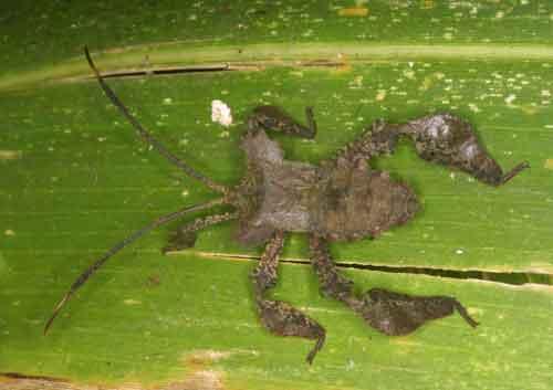 Coreidae 6