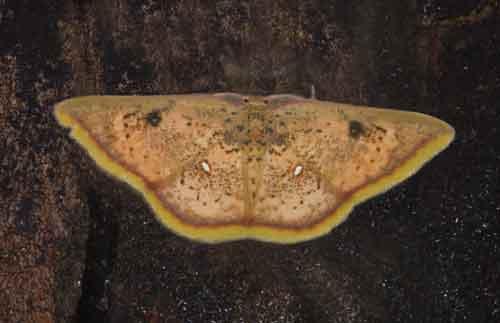 Chrysocraspeda species