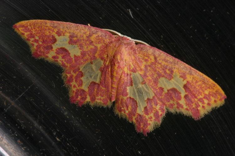 Geometridae Sterrhinae Chrysocraspeda olearia