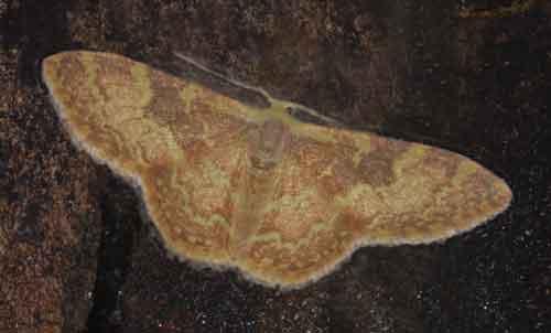 Lophophleps sp