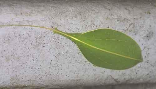 Phylliidae 1