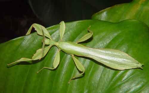 Phyllium celebicum m