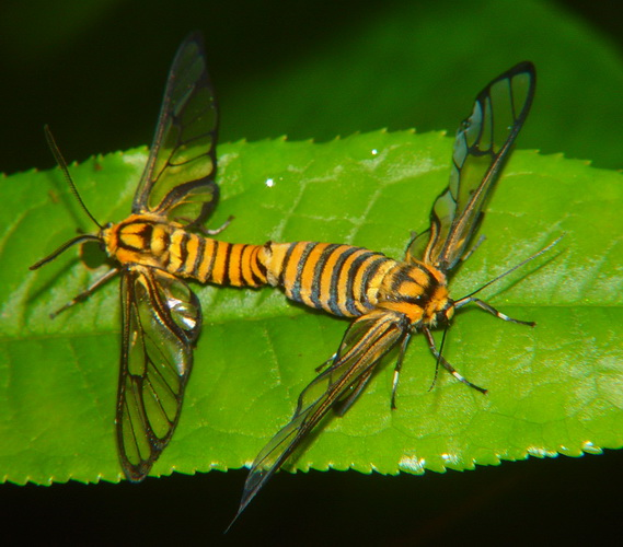 Amata species