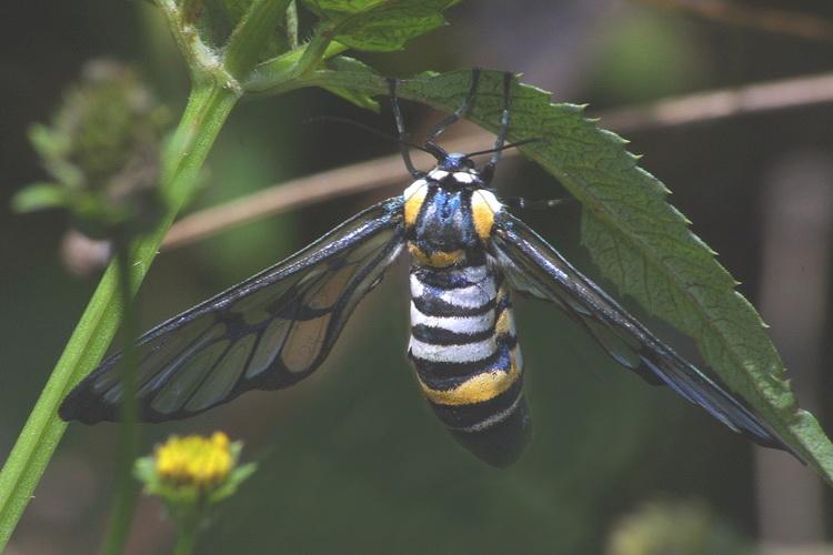 Caeneressa diaphana female