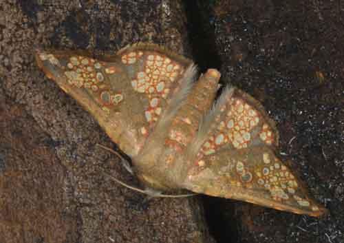 Aglaopus sordida