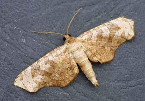 Thyrididae sp 1