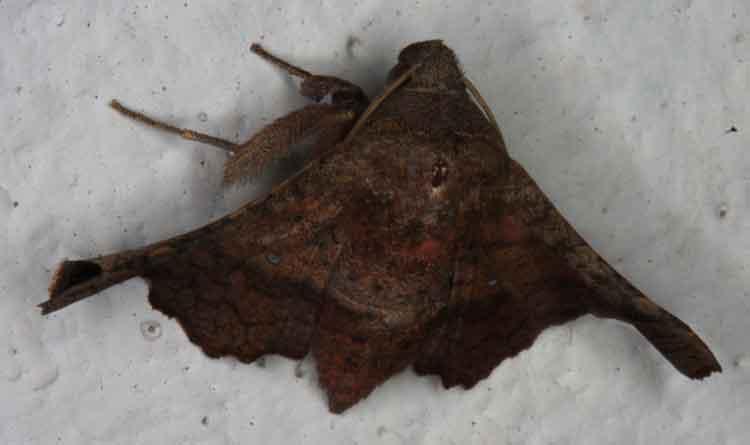 Thyrididae