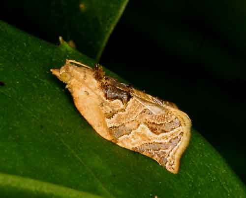 Adoxophyes privatana male