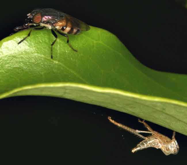 a fly with an exuvia of something