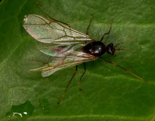three-winged fly?